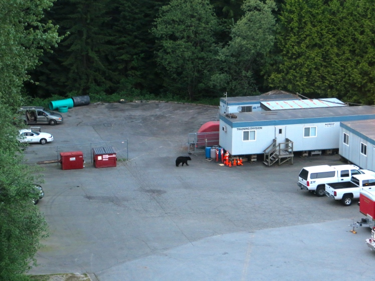Bear sighting at Port Moody Fire Department on May 7, 2013.